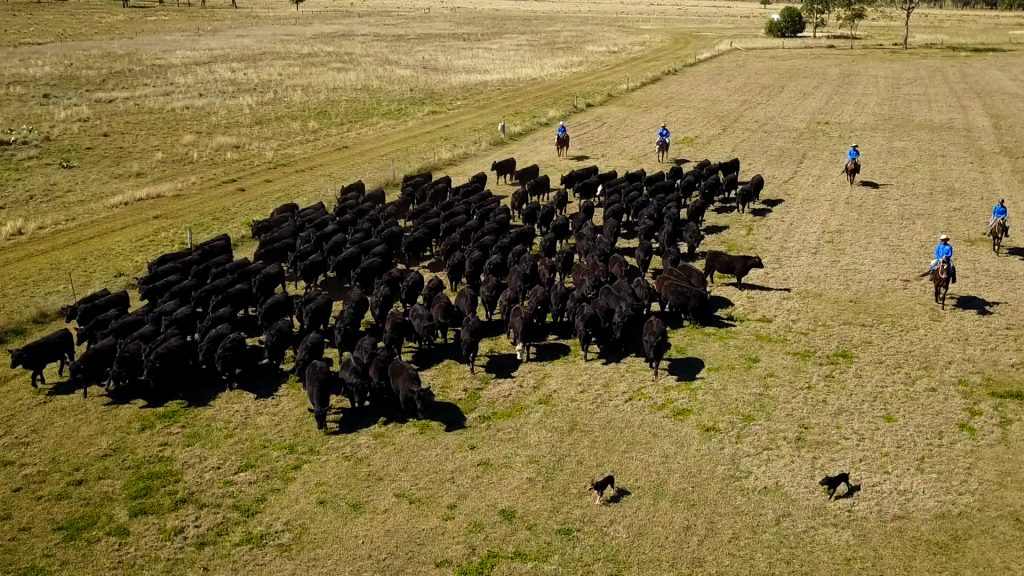 Stockyard beef cattle and drovers