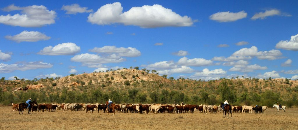 Grain-fed cattle at Stanbroke Beef